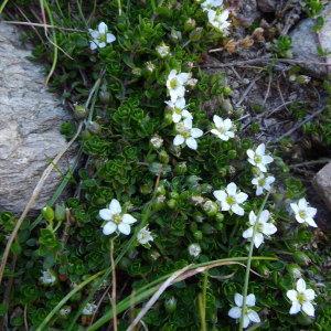 Photographie n°2134821 du taxon Arenaria biflora L. [1767]