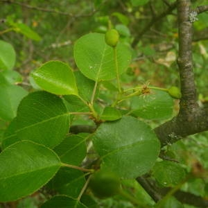 Photographie n°2135383 du taxon Prunus mahaleb L.