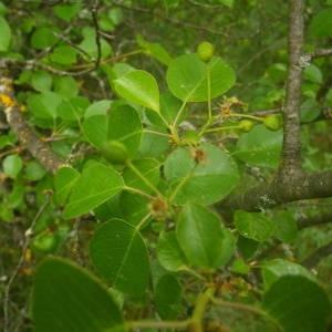 Photographie n°2135384 du taxon Prunus mahaleb L.