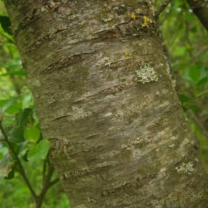 Photographie n°2135385 du taxon Prunus mahaleb L.