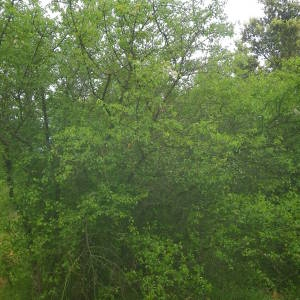 Photographie n°2135386 du taxon Prunus mahaleb L.
