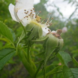 Photographie n°2135387 du taxon Rosa canina L. [1753]