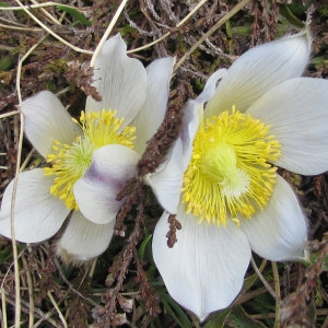 Anemone vernalis L. (Anémone de printemps)