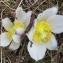 Joceline Chappert-bessiere - Anemone vernalis L. [1753]