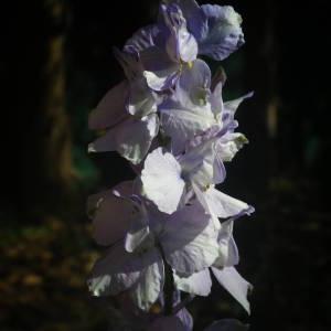 Photographie n°2135567 du taxon Delphinium ajacis L. [1753]