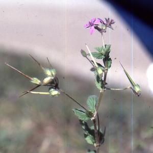 - Erodium chium (L.) Willd. [1794]