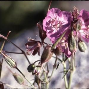 Photographie n°2135957 du taxon Geranium sylvaticum L. [1753]