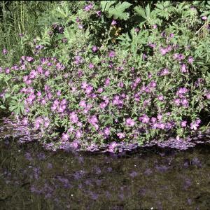 Photographie n°2135958 du taxon Geranium sylvaticum L. [1753]