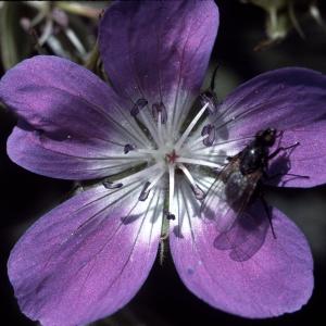 Photographie n°2135959 du taxon Geranium sylvaticum L. [1753]