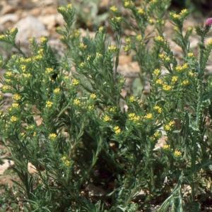 Photographie n°2136114 du taxon Linum strictum L.