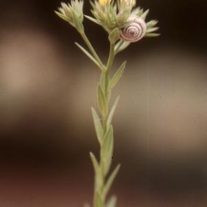 Photographie n°2136115 du taxon Linum strictum L.