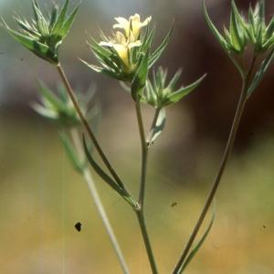 Photographie n°2136117 du taxon Linum strictum L.
