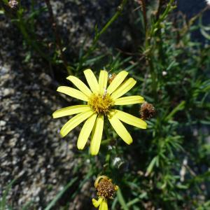 - Limbarda crithmoides (L.) Dumort. [1827]