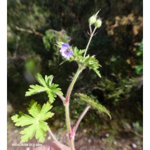 Geranium lanuginosum Lam. (Géranium laineux)
