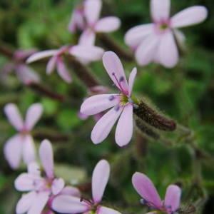 Photographie n°2136354 du taxon Saponaria ocymoides L.