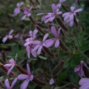 Photographie n°2136355 du taxon Saponaria ocymoides L.