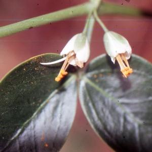 Photographie n°2136569 du taxon Zygophyllum fabago L. [1753]