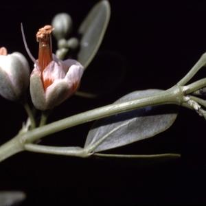 Photographie n°2136576 du taxon Zygophyllum fabago L. [1753]