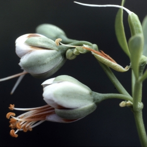 Photographie n°2136577 du taxon Zygophyllum fabago L. [1753]
