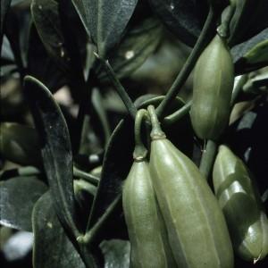 - Zygophyllum fabago L.