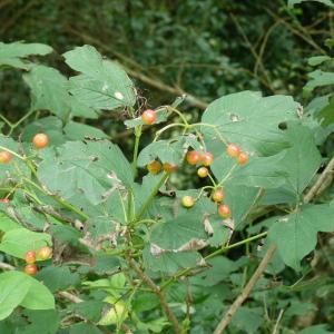 Photographie n°2136673 du taxon Viburnum opulus L. [1753]