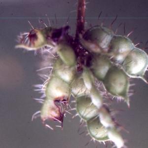 Mimosa pudica L. (Mimosa)