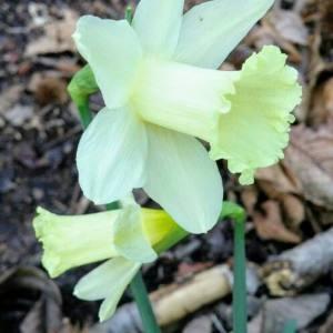 Photographie n°2136756 du taxon Narcissus pseudonarcissus L. [1753]