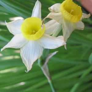Photographie n°2136783 du taxon Narcissus tazetta L.