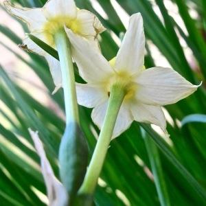 Photographie n°2136785 du taxon Narcissus tazetta L.