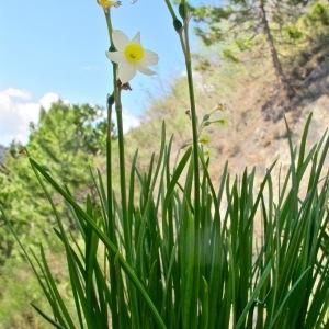 Photographie n°2136786 du taxon Narcissus tazetta L.