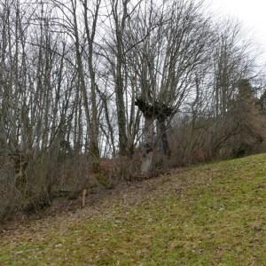 Photographie n°2136821 du taxon Acer pseudoplatanus L.