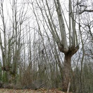 Photographie n°2136823 du taxon Acer pseudoplatanus L.