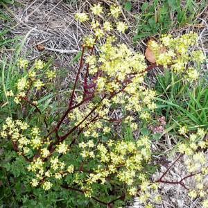 Photographie n°2137199 du taxon Xanthoselinum alsaticum subsp. alsaticum