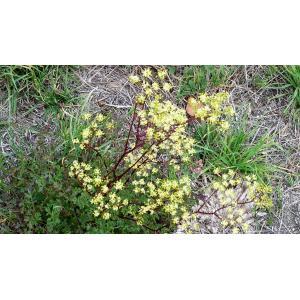Xanthoselinum alsaticum (L.) Schur subsp. alsaticum (Peucédan d'Alsace)