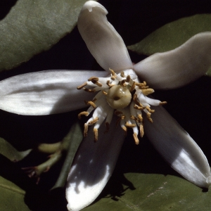 Citrus sinensis (L.) Osbeck (Oranger)