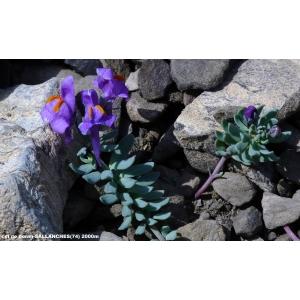 Linaria alpina subsp. petraea (Jord.) H.Marcailhou & A.Marcailhou (Linaire des pierriers)