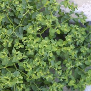 Photographie n°2137757 du taxon Euphorbia peplus L. [1753]