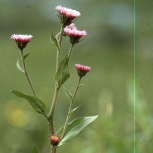- Erigeron atticus subsp. gaudinii (Brügger) Briq. & Cavill. [1915]