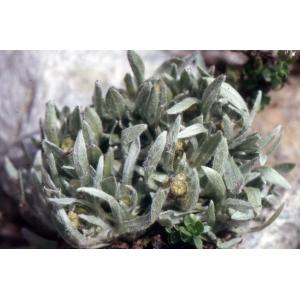 Gnaphalium supinum L. (Gnaphale couché)