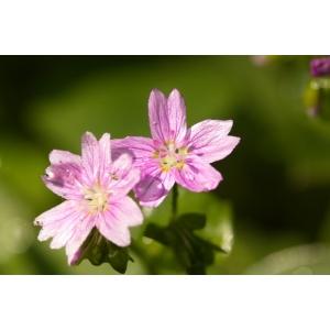 Claytonia sibirica L. (Claytonia de Sibérie)