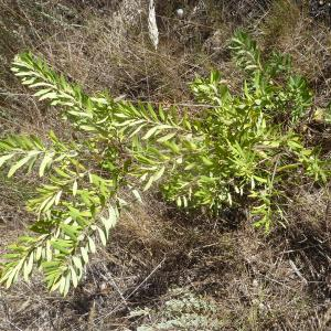 Photographie n°2137947 du taxon Daphne gnidium L. [1753]