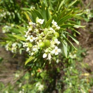 Photographie n°2137948 du taxon Daphne gnidium L. [1753]
