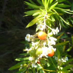 Photographie n°2137949 du taxon Daphne gnidium L. [1753]