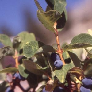 Photographie n°2138041 du taxon Lonicera nigra L. [1753]