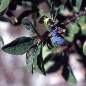 Photographie n°2138042 du taxon Lonicera nigra L. [1753]
