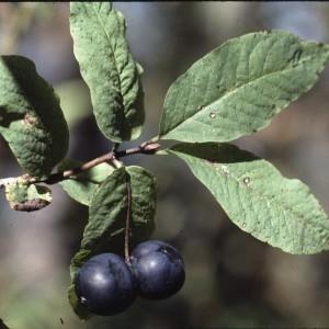 Photographie n°2138045 du taxon Lonicera nigra L. [1753]