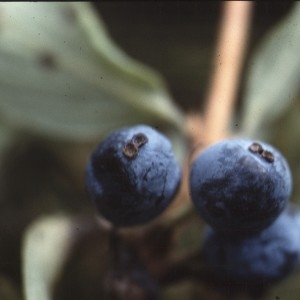 Photographie n°2138059 du taxon Lonicera caerulea L. [1753]
