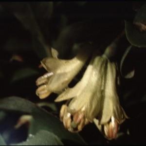 Photographie n°2138060 du taxon Lonicera caerulea L. [1753]
