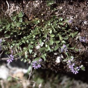 Photographie n°2138069 du taxon Polygala alpestris Rchb. [1823]