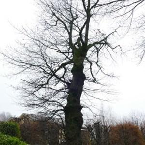 Photographie n°2138201 du taxon Quercus robur L. [1753]